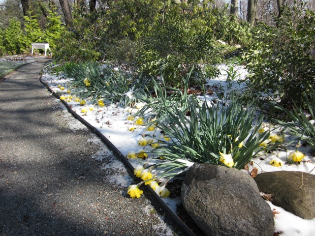 Luckily, the daffodils have bounced-back well from the snow and cold. We've just got one more night below freezing to stand, and hopefully no more until next fall!