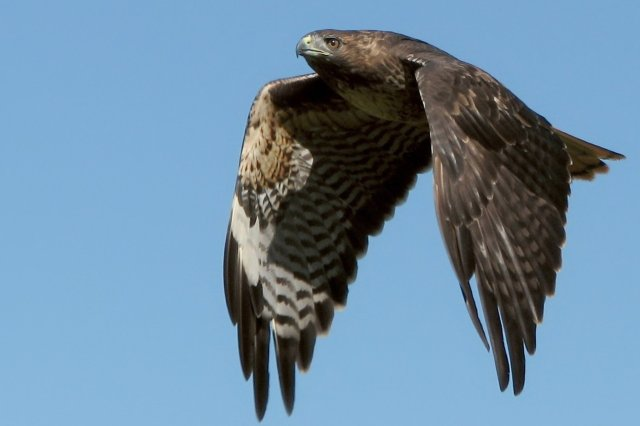 You'll see a few of these up at the Audubon. We've got a resident family of red-tailed hawks at the Inn, too. Much to the chagrin of the chickens. Courtesy: Jack Wolf/Flickr